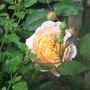Rose `Crown Princess Margretha` I think!