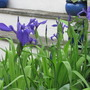 Pond iris. (Iris laevigata (Rabbit ear Iris))