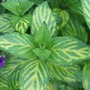 Mentha x gracilis &#x27;Variegata&#x27; (Mentha x gracilis &#x27;Variegata&#x27;)