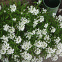 Alysum (Lobularia maritima (Alyssum Rosie ODay))
