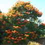 Spathodea campanulata - African Tulip Tree in Balboa Park, San Diego, CA. (Spathodea campanulata - African Tulip Tree)
