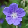 Blue hardy Geranium