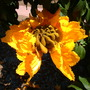 Spathodea campanulata &#x27;aurea&#x27; - Golden/Yellow African Tulip Tree (Spathodea campanulata &#x27;aurea&#x27; - Golden/Yellow African Tulip Tree)