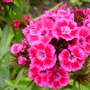 Sweet williams (Dianthus barbatus (Sweet William) barbatus (Sweet William))