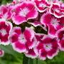 Sweet williams (Dianthus barbatus (Sweet William) barbatus (Sweet William))