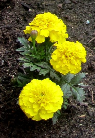 Marigold (Tagetes)
