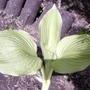 Hosta from a friend's garden  (Hosta)