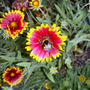 Gaillardia & Bee (Gaillardia aristata (Blanketflower))