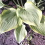 Hosta Aureomarginata  (Hosta Aureomarginata)