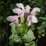 Lamium_pink_pewter_