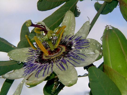 Passion in the rain (Passiflora (Passion flower))
