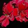 Pelargonium (pelargonium Tomentosum)