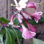 Honeysuckle blossom (Lonicera periclymenum)