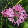 Allium_ostrowskianum