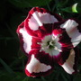 Dianthus_raspberry_ripple_
