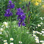 Blue flags and white daisies - a lovely contrast. (Iris prismatica (Slender Blue Flag))