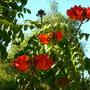 Spathodea campanulata - African Tulip Tree Flowers (Spathodea campanulata - African Tulip Tre)