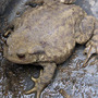 Toad_1_10_6_10