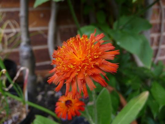 Hieracium aurantiacum (Fox and Cubs) (Hieracium aurantiacum)