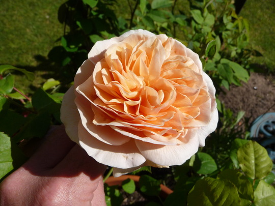 Rosa 'Sweet Juliet' (Rosa)
