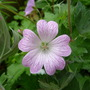 Geranium x oxonianum 'Hollywood' (Geranium x oxonianum 'Hollywood')