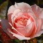 Rosa 'Flower Power' (Rosa)