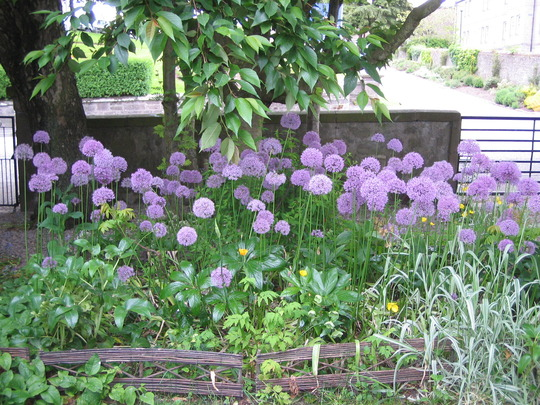 Allium bed (Allium)