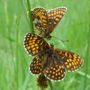 Heath_Fritillary_004.jpg