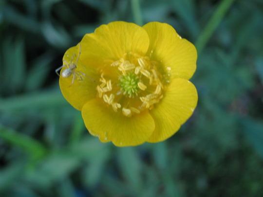 Buttercup (Ranunculus acris (Altindugme))