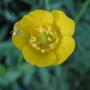 Ranunculus acris (Altindugme)
