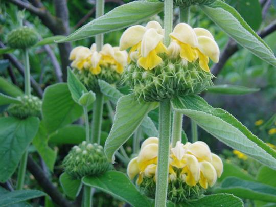 Phlomis 'Russeliana' (Phlomis russeliana (Phlomis))