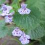 Creeping Charlie flowers (Glechoma hederacea)