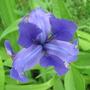 Iris versicolor (Amerikan Suseni)