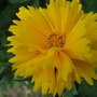 Coreopsis lanceolata