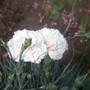 Alan Titchmarsh in flower! (Dianthus `Alan Titchmarsh`)