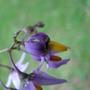 Solanum dulcamara (Bitter Nightshade)