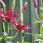 Tiger Lily (L. tigrinum)