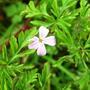 geranium robertainum (Geranium robertianum (Cranesbill))