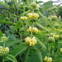 Phlomis 'Russeliana' for Sixpence (Phlomis russeliana (Phlomis))