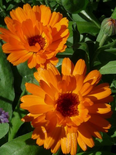 Calendula (Calendula officinalis (English marigold))