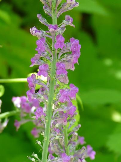 Toadflax - Linaria (Linaria purpurea (Purple Toadflax))