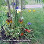 Irises_in_gerry_s_garden_2010_06_05_001