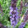 Salvia nemorosa 'Blue Queen'