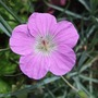 Geranium orientalitibeticum (Geranium orientalitibeticum)