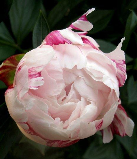 Poeny 'Sarah Bernhardt'