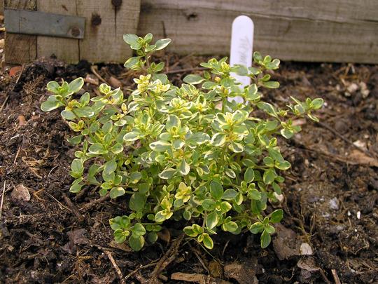 Thymus x citriodorus (Thymus x citriodorus (Lemon-scented thyme))