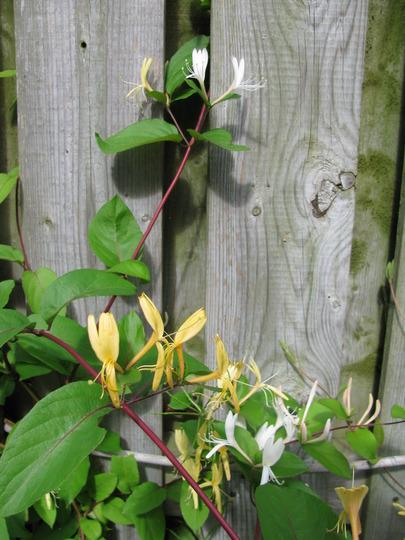 Yellow honeysuckle along back fence (Lonicera japonica 'Halliana')
