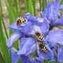 Trichius_fasciatus_1