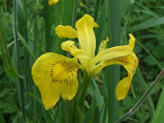 Flag Iris (Iris pseudacorus)