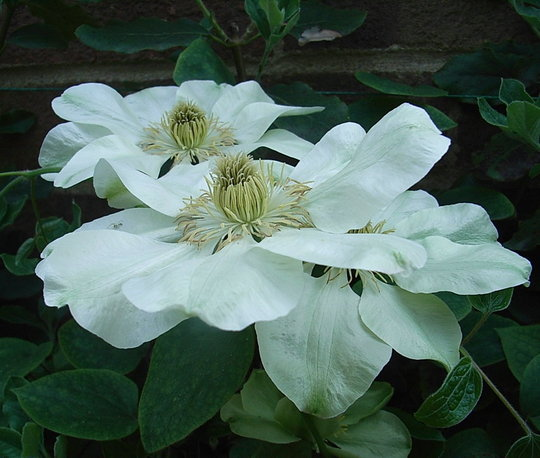 Clematis 'Guernsey Cream' - flowers a couple of days after opening (Clematis 'Guernsey Cream')